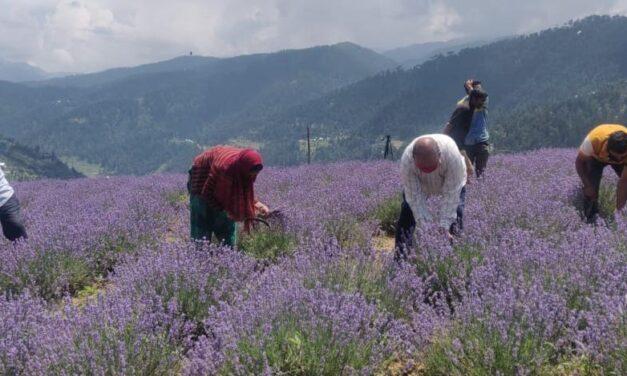 Aroma Mission sparks Purple Revolution