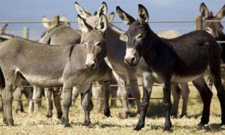 Donkey milk for premium skincare