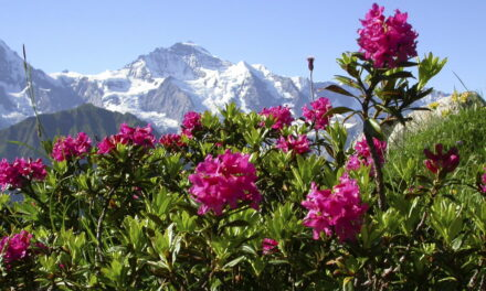 """Alpine Rose Active – Clearing """"zombie cells"""" in the skin"""